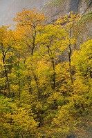 autumn, Columbia River Gorge National Scenic Area, yellow, gold, fog, basalt, Oregon
