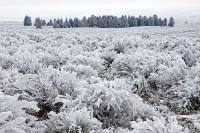 hoarfrost, sagebrush, ponderosa pines, Wenas Valley, Washington