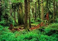 old-growth forests, Carbon River, Mount Rainier National Park, Washington, cedar, snags