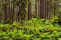 old-growth forest, Carbon River, Mount Rainier National Park, Washington, ferns