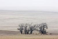 wheat field, fog, barren trees, simple composition, Walla Walla County, Washington