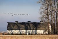 Nisqually Wildlife Refuge, fog, barn, Canada geese, shadows