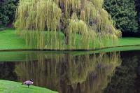 Bloedel Reserve, Bainbridge Island, Puget Sound, Washington, willow, Canada Goose