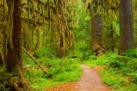 Hoh Rainforest, old-growth forests, Olympic National Park, Washington, spruce, moss, lichens, forest trail