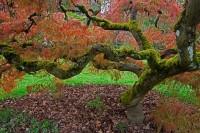 University of Washington arboretum, Seattle, Washington, Japanese maple, red