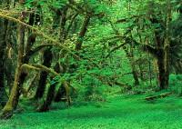 moss, maples, wetland, Kestner Creek, Lake Ozette, Olympic National Forest, Washington