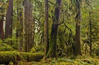 old-growth forests, Carbon River, Mount Rainier National Park, Washington