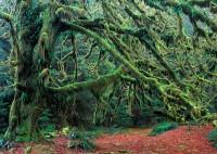 maple, moss, autumn, Olympic National Forest, Washington