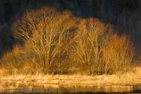 Willows, golden, gold, sunrise, mallard ducks, Nisqually Wildlife Refuge, Washington
