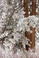 fog, hoarfrost, ponderosa pine, Wenas Valley, Washington