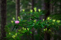 rhododendron, Mount Walker, Hood Canal, fog, Olympic Peninsula, Washington, Olympic National Forest