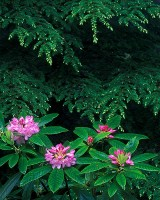 rhododendrons, hemlock, Mount Walker, Hood Canal, Olympic National Forest, Washington