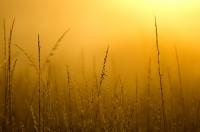 gold, grass, sunrise, Scatter Creek Wildlife Area, Thurston County, western Washington
