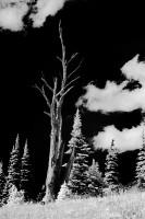 black & white, infrared, silhouette, Mount Rainier National Park, Silver Forest, Washington