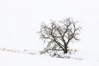 black, gold, white, snow, winter, tree, winter tree, Umatilla County, Oregon