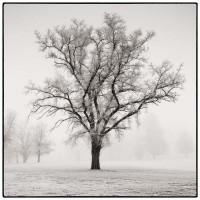 tree, solitary tree, fog, golf course, freezing fog, walla walla, washington