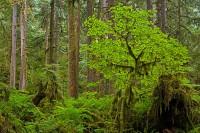 old-growth forest, Carbon River, Mount Rainier National Park, Washington, vine maple