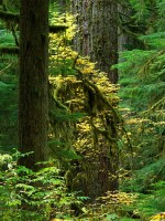 old-growth, forest, old-growth forest, Carbon River, Mt. Rainier National Park, Rainier, autumn, yellow, Mount Rainier