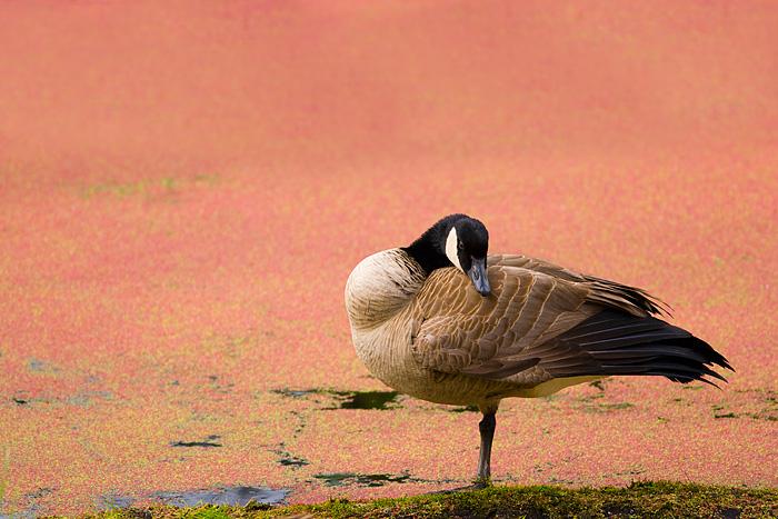 Nisqually Wildlife Refuge, Washington, Canada Goose, preening, duckweed