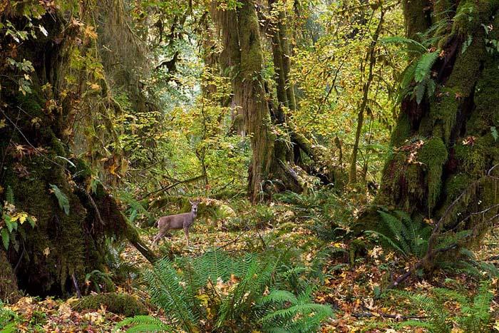 Hoh Rainforest, Olympic National Park, Washington, deer, maples