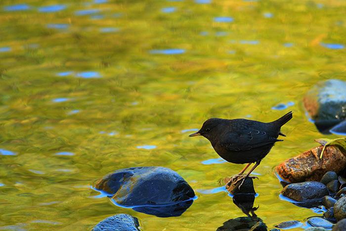 American Dipper, Mount Rainier National Park, Washington, reflection, stream, autumn