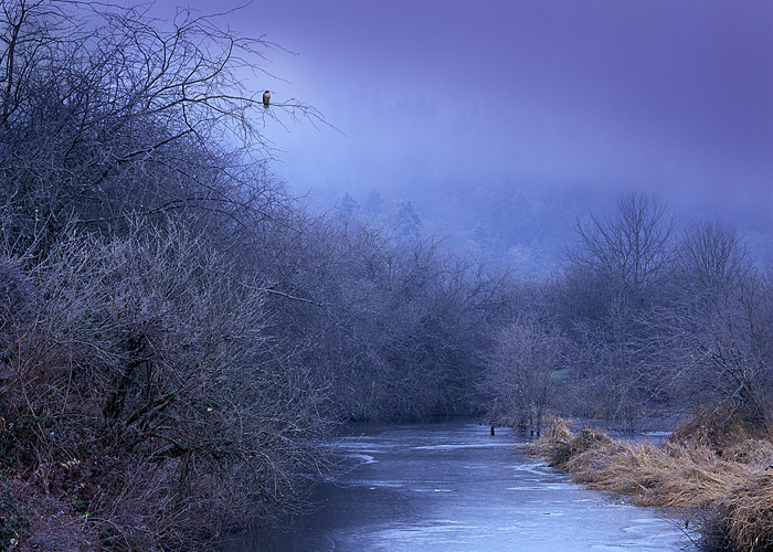 red-tailed hawk, Nisqually Wildlife Refuge, Washington, frozen stream