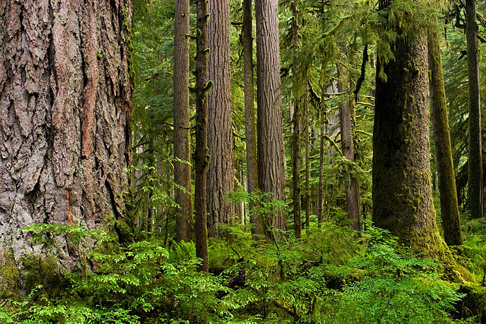 old-growth forest, Carbon River, Mount Rainier National Park, Washington