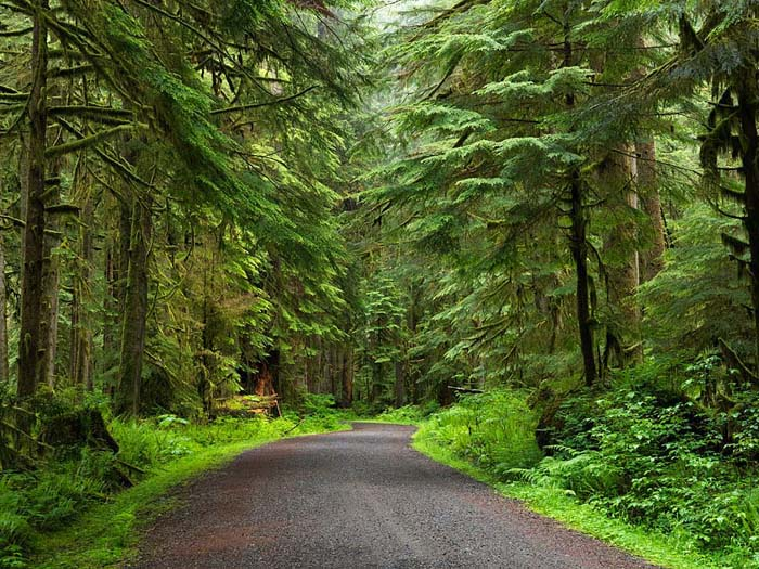old-growth, forest, Carbon River, Mount Rainier, Rainier, national park, Washington, Mount Rainier National Park, green,