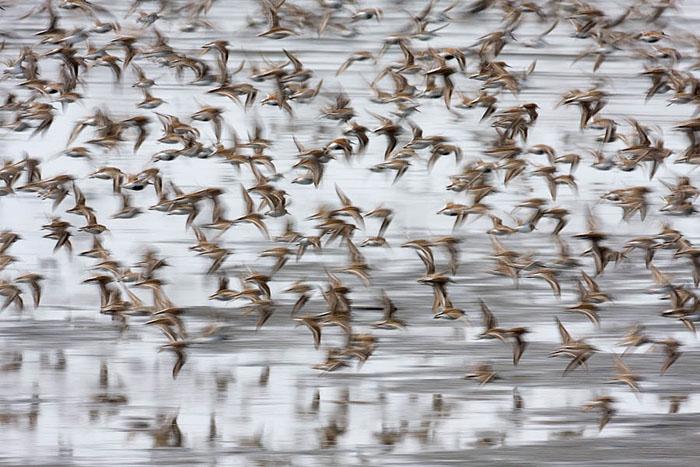 Grays Harbor, Washington, flock, shorebirds, sanderling, dunlin, Pacific flyway, migration