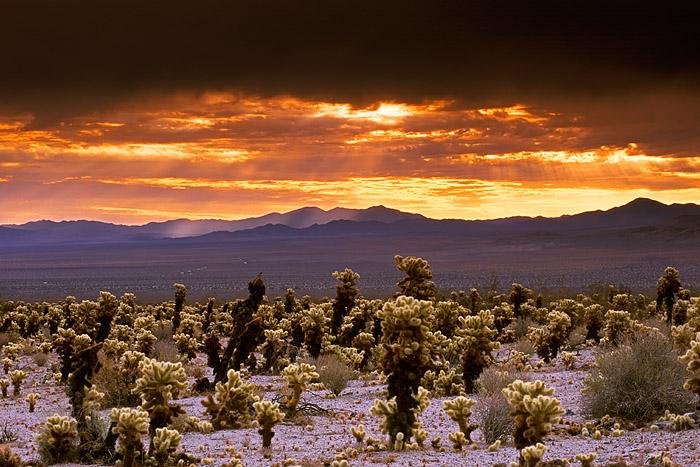Joshua Tree National Park, California, cholla cactus, sunrise