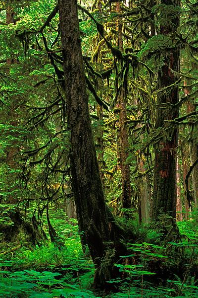 old-growth forests, Carbon River, Mount Rainier National Park, Washington cedar, devil's club