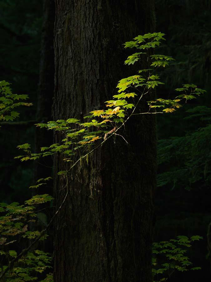 vine maple, maple, old-growth, forest, old-growth forest, Carbon River, Mt. Rainier National Forest, Rainier, autumn